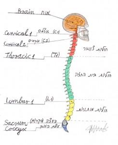 חוליות עמוד השדרה, מערכת העצבים ומה שביניהם