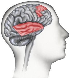 בהפרעת קשב וריכוז ישנם אזורים במוח שהמוליכים העצביים שם לא פועלים  כראוי